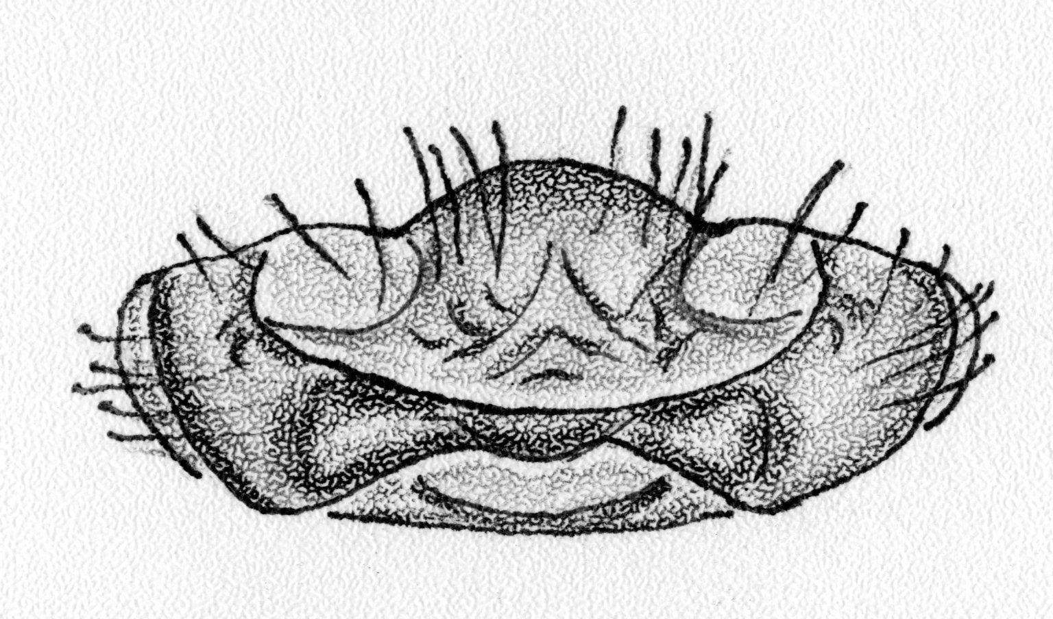 Spider Sex Organs
