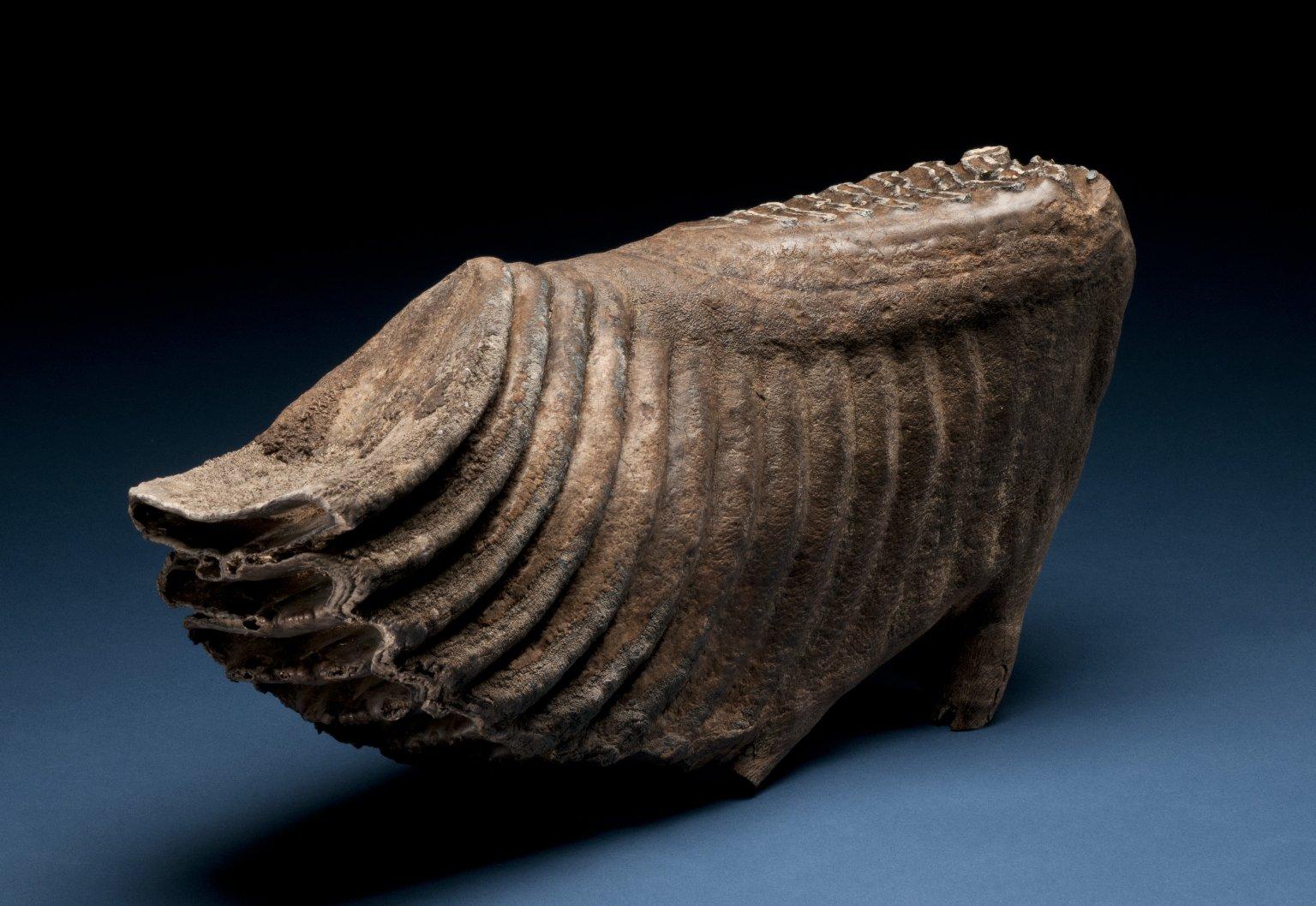 Columbian Mammoth tooth