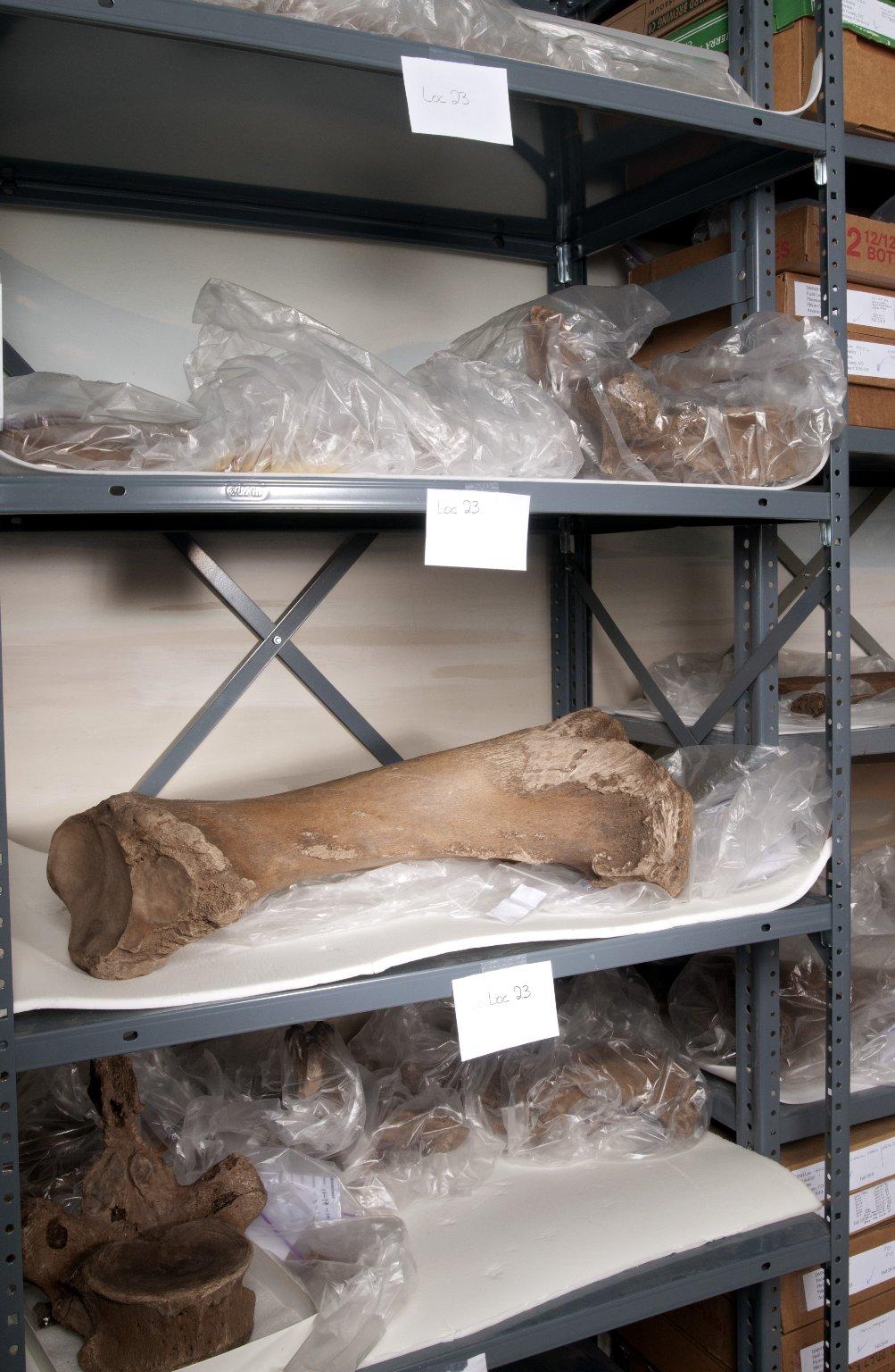 American Mastodon Tibia