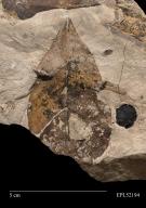 Plantae, fossil leaf, plate