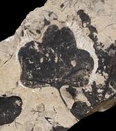 Aralia groenlandica Fossil Leaf