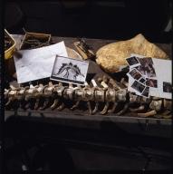 Stegosaurus bones