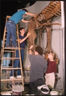 Installation of Edmontosaurus articulation