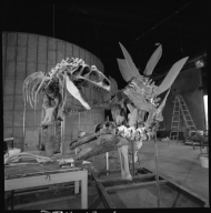 Partially mounted Allosaurus and Stegosaurus skeleton