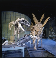 Partially mounted Allosaurus and Stegosaurus skeletons