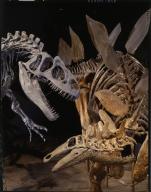 Allosaurus and Stegosaurus skeletons