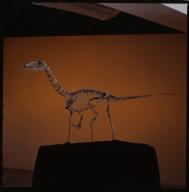 Coelophysis skeleton