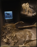 Mammoth skeletons