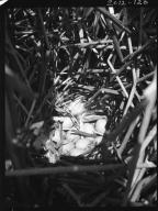 Redhead duck nest