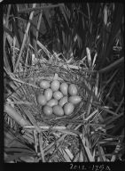 Avocet eggs