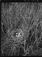 Sora nest