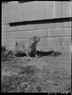 Museum pet prairie dog Bill