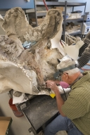 Working on ceratops specimen