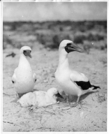 Blue-faced boobies with chick