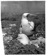 Blue-faced Booby with chick