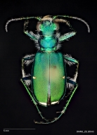 Green claybank tiger beetle