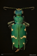Boreal long-lipped tiger beetle