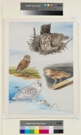 Great Horned Owl, Burrowing Owl, Barn Owl, Snowy Owl