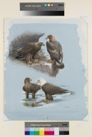 Golden Eagle and Bald Eagle