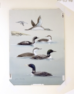 Red-throated Loon,  Arctic Loon, Common Loon, and Yellow-billed Loon