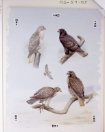 Red-tailed Hawk, Harlan's Hawk, and Red-tailed Hawk . Artist Earl L. Poole.