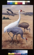 Whooping Crane  and Sandhill Crane.