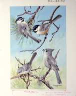 Mountain Chickadee, Black-capped Chickadee, Common Bushtit, and Plain Titmouse.