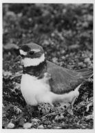 Plover on Eggs
