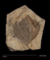 Platanites marginata, fossil leaf