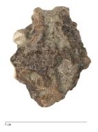 Turtle skull, Procerberus sp.