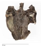 Turtle skull, Axestemys.