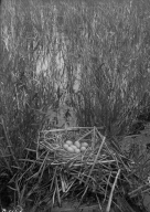 Nest & Eggs of Coot