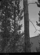 Lodge Pole Pine near Grant