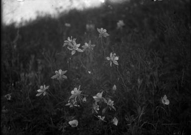Blue Columbines and Mariposa Lillies