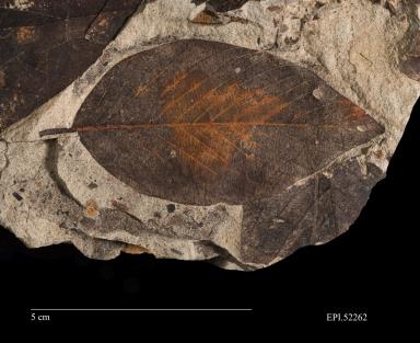 Rhamnus goldiana, fossil leaf