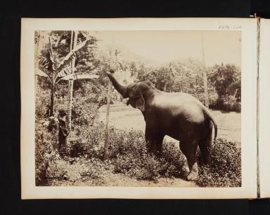 Asian Elephant.