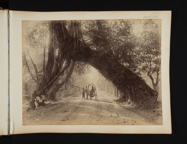 A bullock cart passes under a huge tree trunk in Sri Lanka.