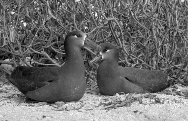Black-footed albatrosses