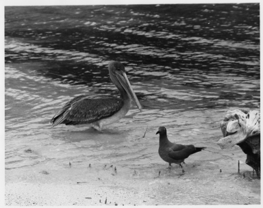 Pelican and Sooty Gull