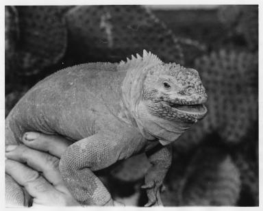 Galapagos Land Iguana