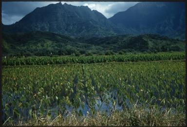 Taro plant field
