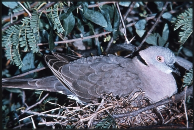 Mourning collared dove