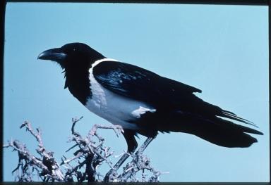 Peid crow