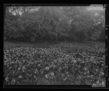 Water hyacinths