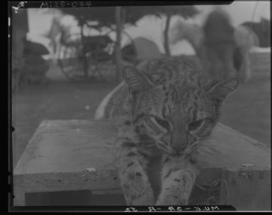Pampa cat specimen