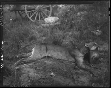Puma specimen study
