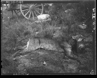 Puma specimen