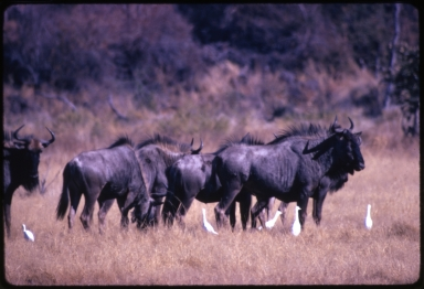 Wildebeest (Connochaetes)