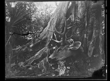 Brazilian Swamp Deer specimen