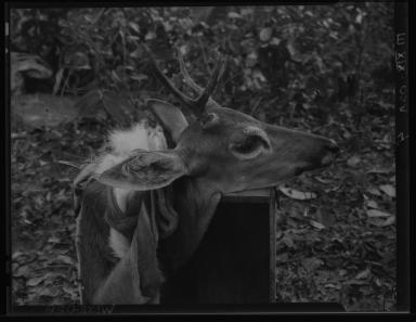 Pampa deer specimen